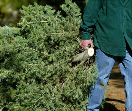 ses tree recycling this weekend - Christmas Tree Removal