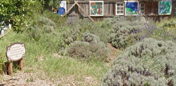 Wednesday, August 24, 9-11am: Lavender Lot harvest